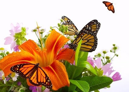 butterfly_and_lily_picture_166770.jpg