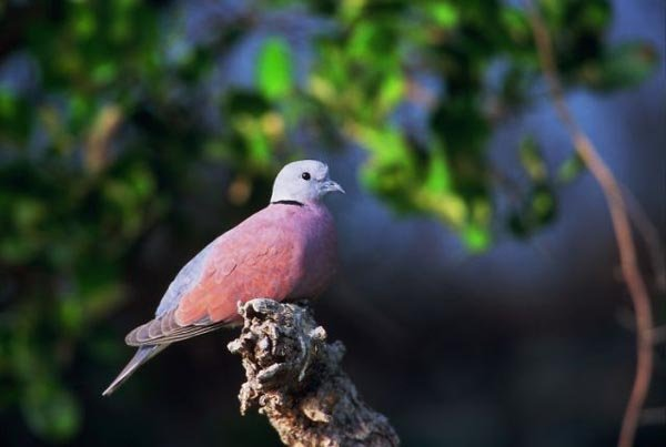 Red%20Collared-Dove.jpg