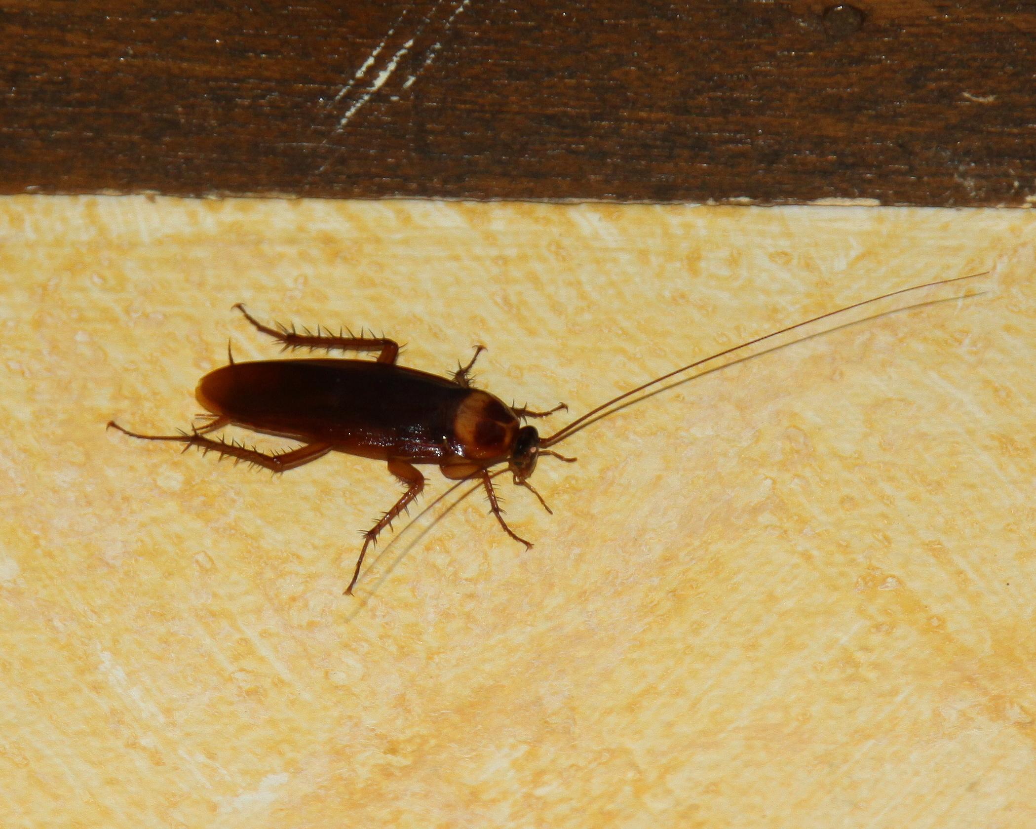 вам жуки похожие на тараканов фото призван