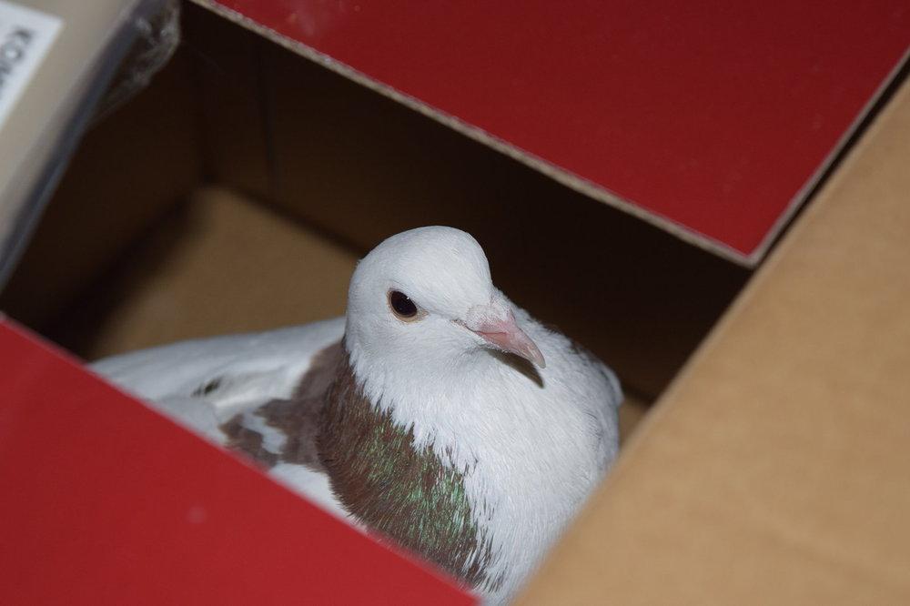 pigeon-bo1.jpg