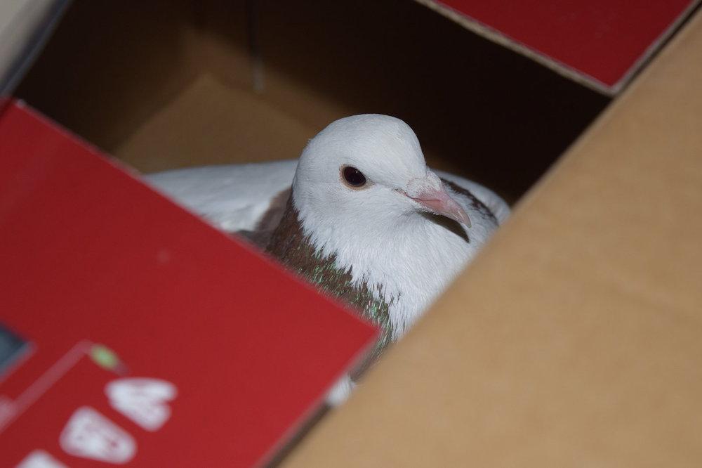 pigeon-bo2.jpg