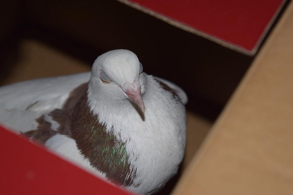pigeon-bo3.jpg