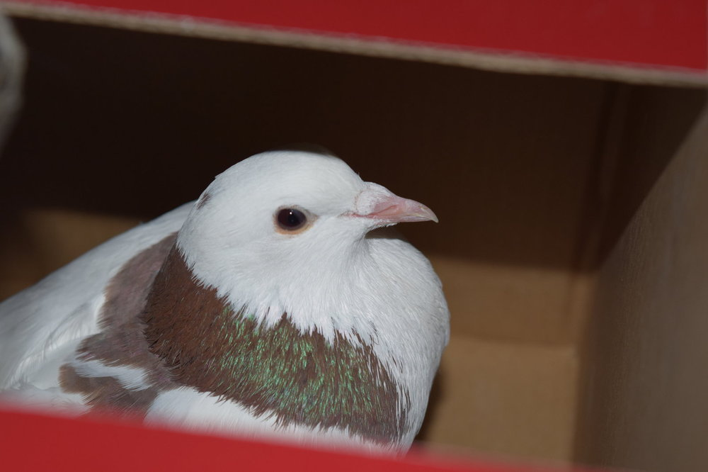 pigeon-bo4.jpg