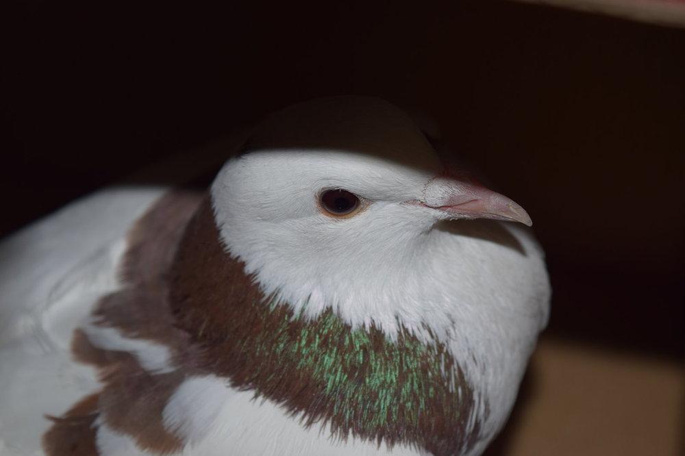 pigeon-bo5.jpg