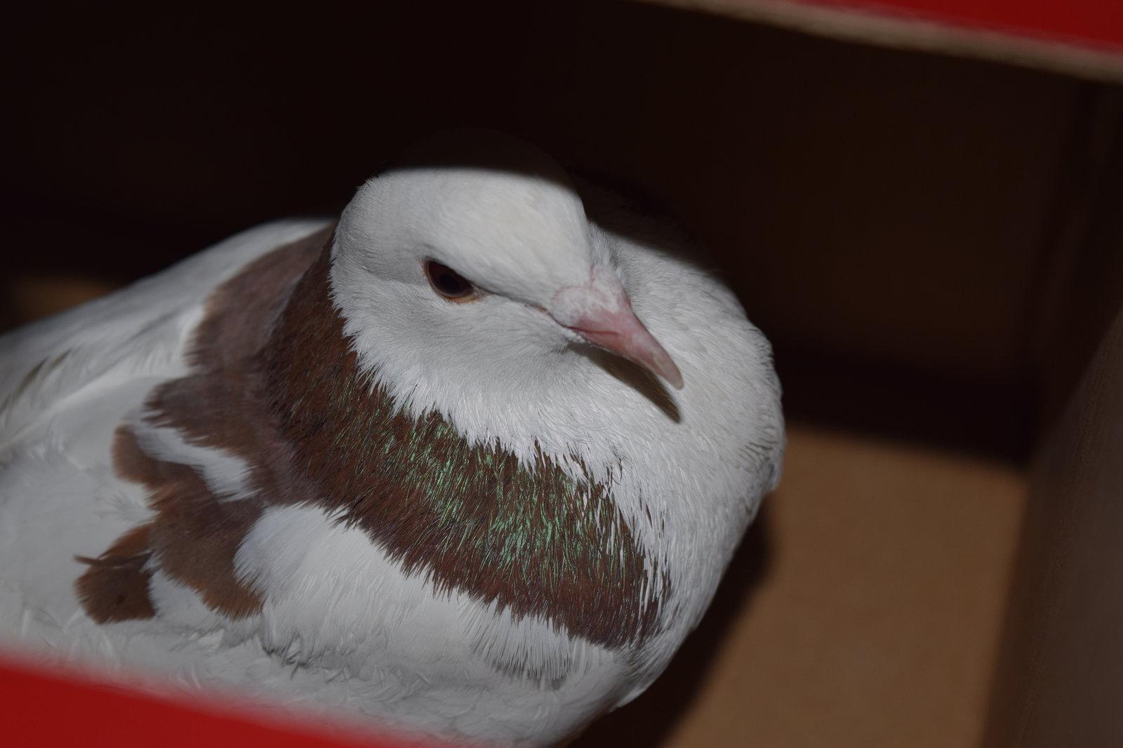 Отдадим голубя в добрые руки - живущие в квартире - форумы m.