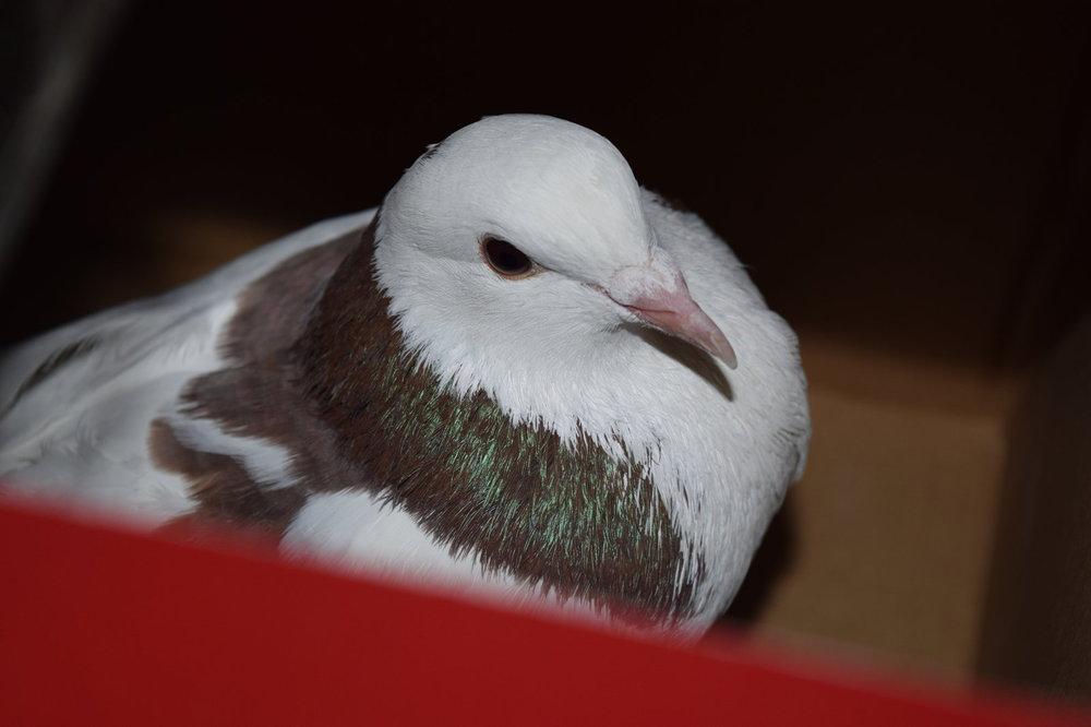 pigeon-bo7.jpg