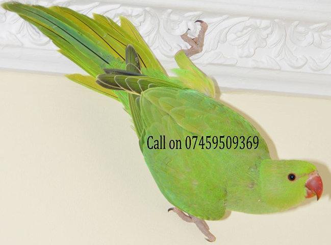 postadsuk.com-baby-green-ring-neck-talking-parrot-closed-ring-3-4-month-old-0.jpg.b3c4721b8c2d8b35a341a43051eea817.jpg