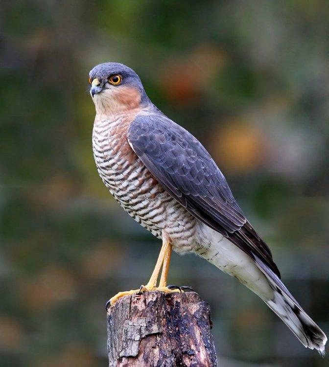 ________Sparrow Hawk.jpg