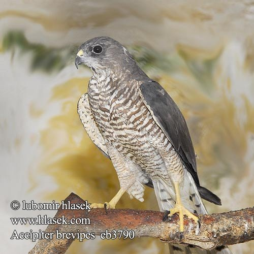 accipiter_brevipes_eb3790.jpg