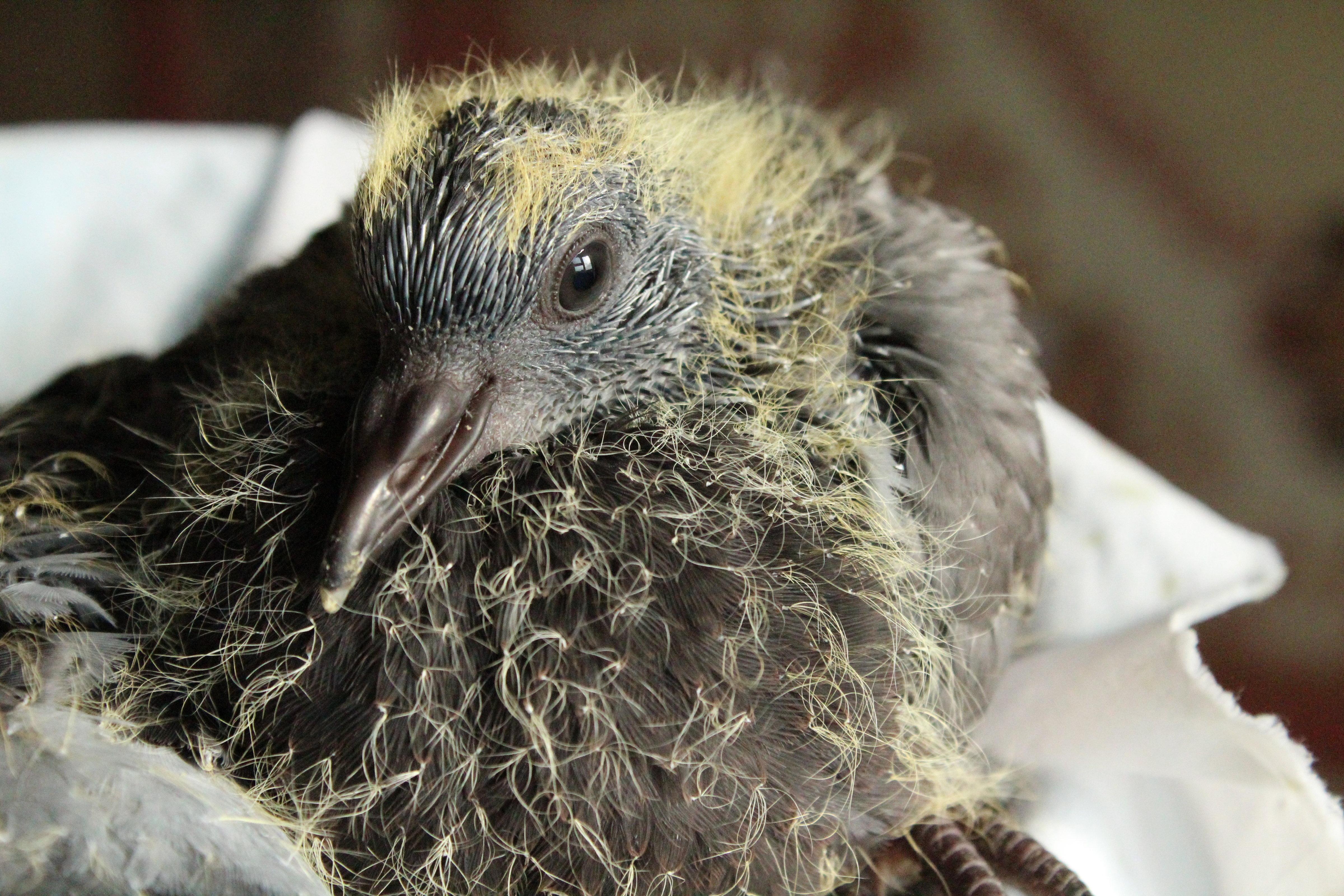 У пары голубей появились птенцы