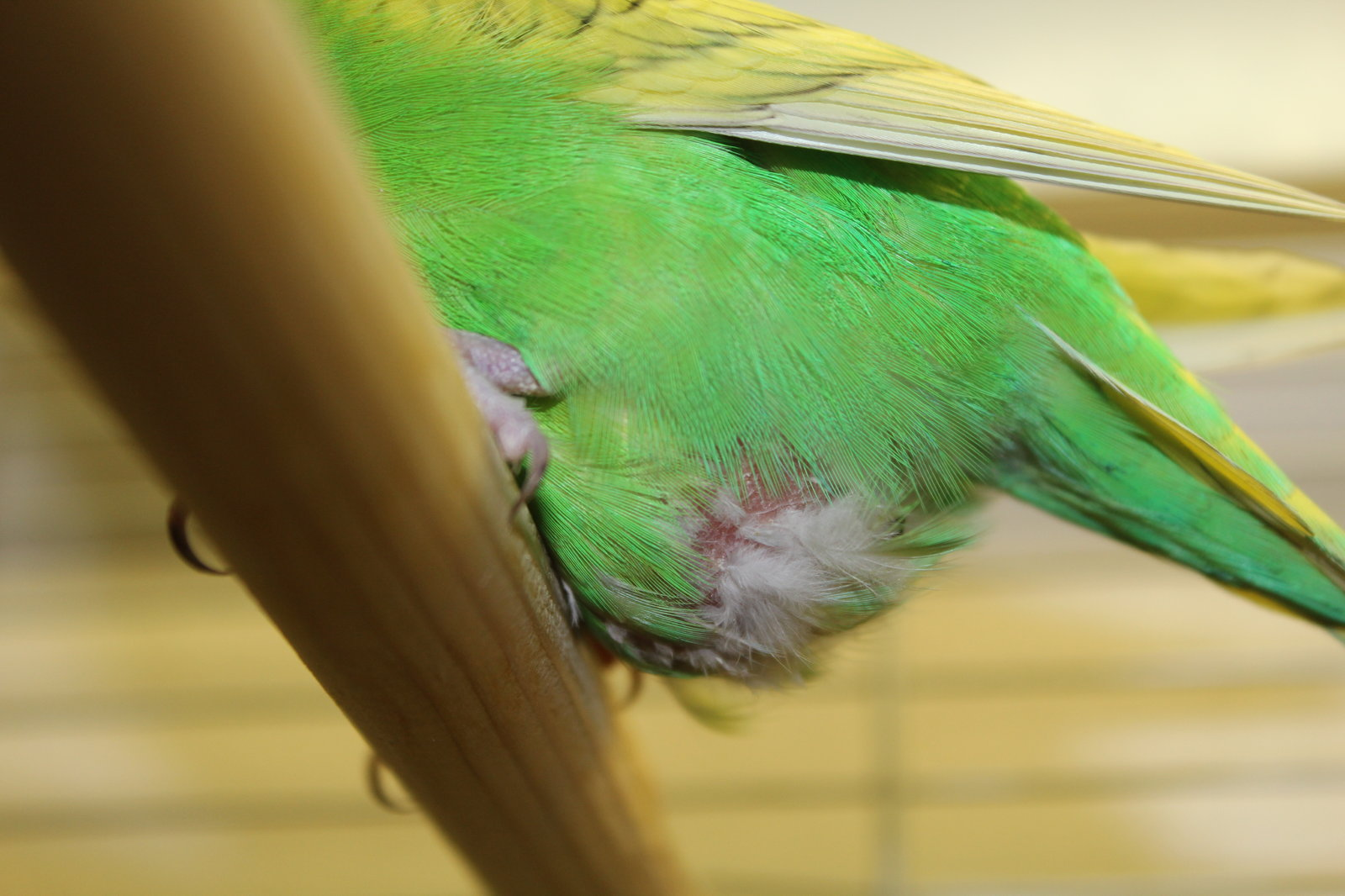 У волнистого попугая дргается попка