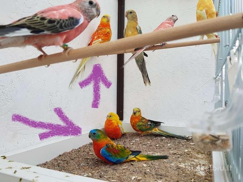 papugos22.jpg
