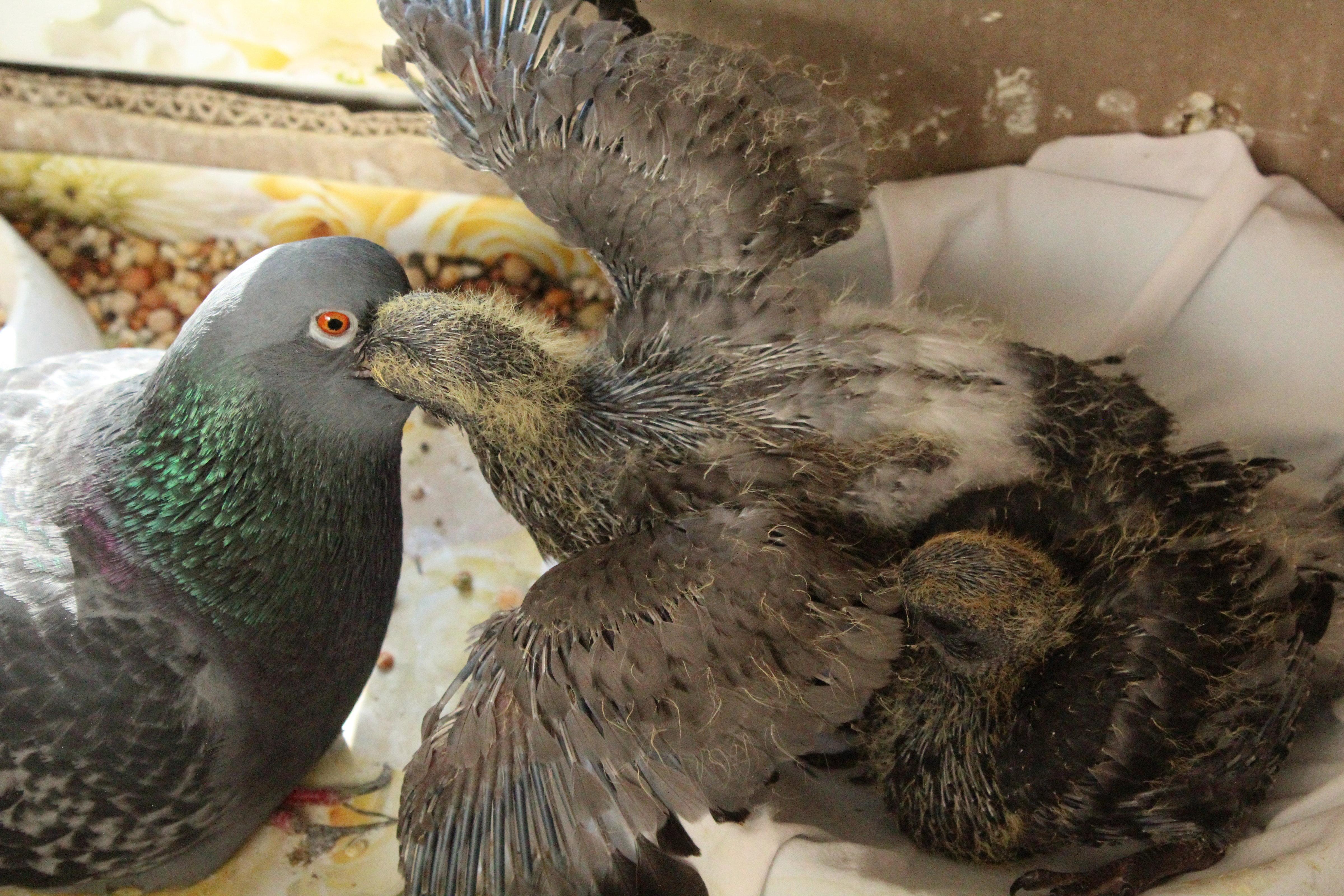 Как мама-голубка выкармливала голубят