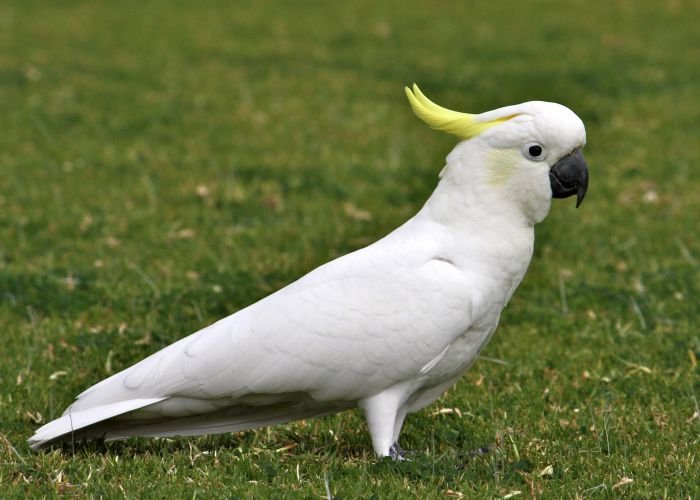 yellow-crested_cockatoo_7__medium.jpg