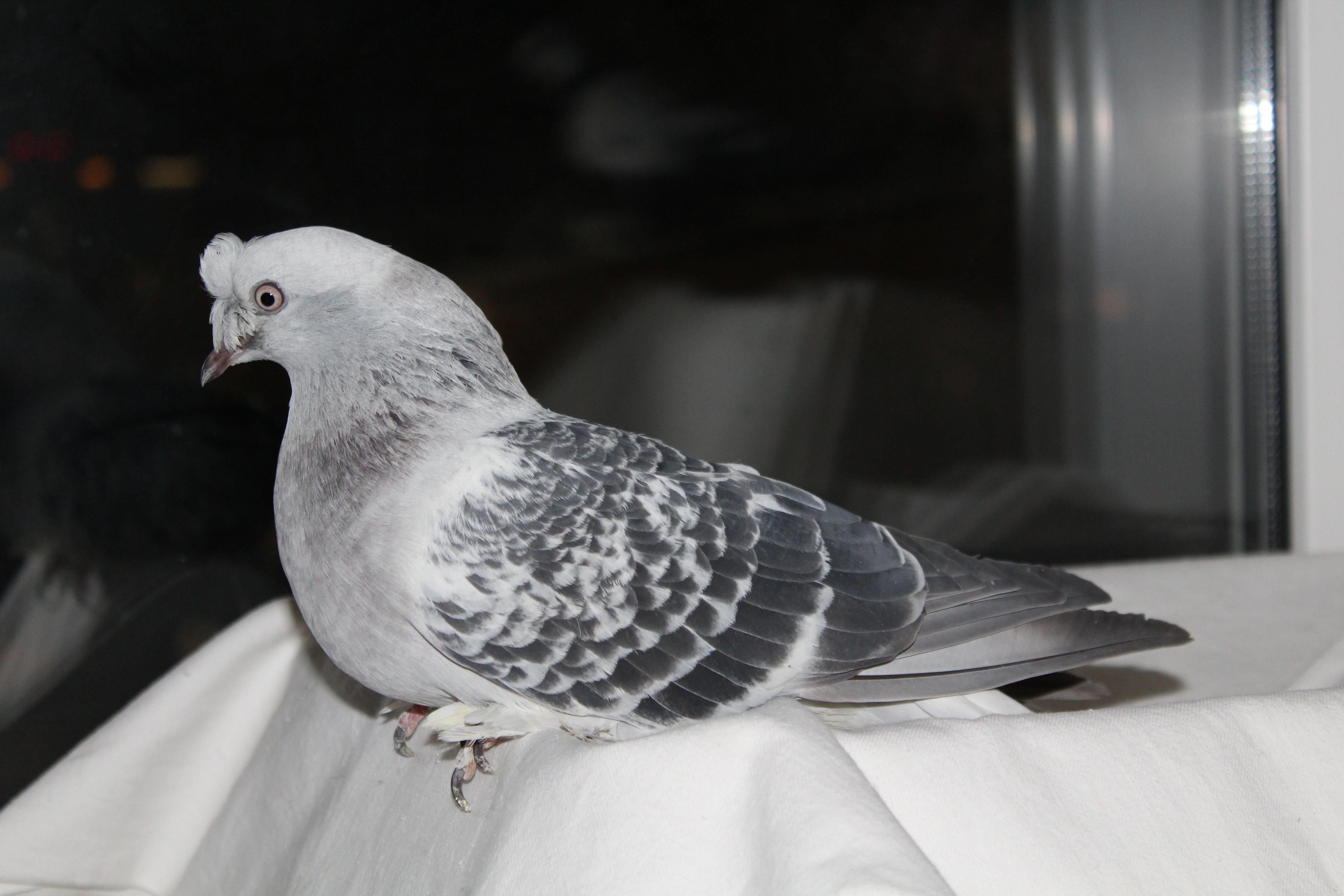 Внешность и характер голубя породы турецкий бойный - такла