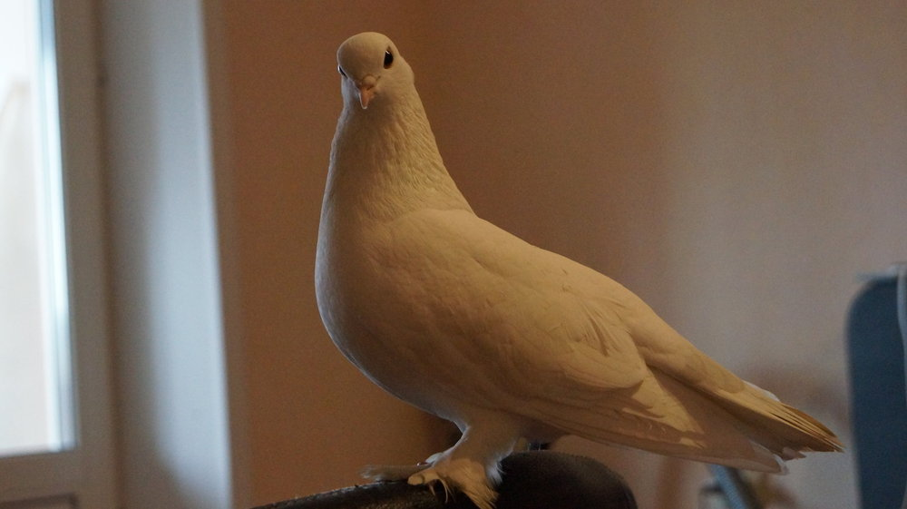 Кеха, голубь 021.JPG