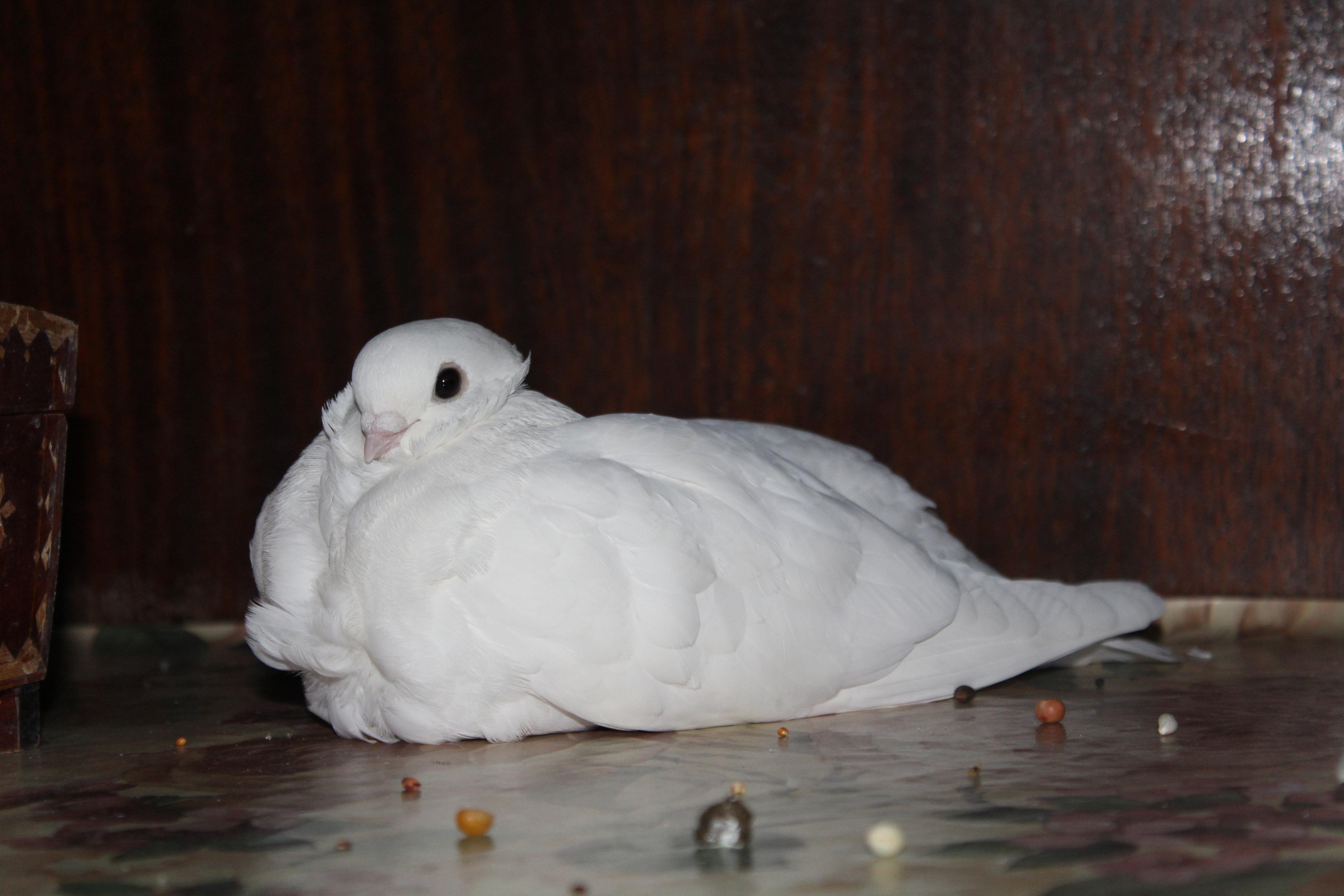 Как голубка породы чайка приревновала голубя Пифа