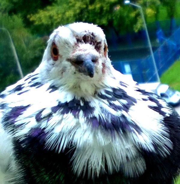 Голубь на голове гнилые перья. Как лечить? WP_20190817_09_11_26_Pro.jpg.b74e6a5611bab601f57678a218914716