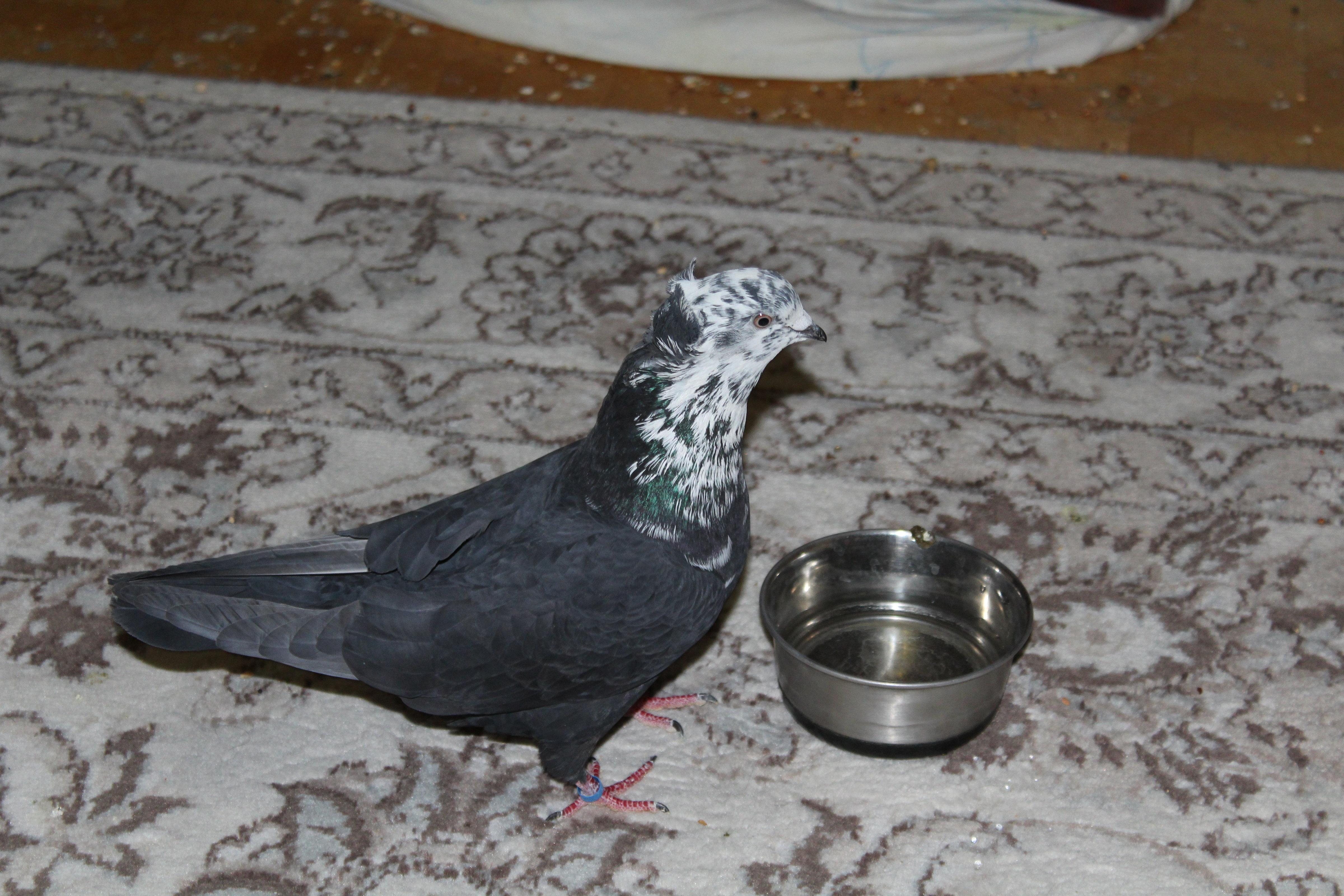 Как я ловила голубя породы бакинский чиль