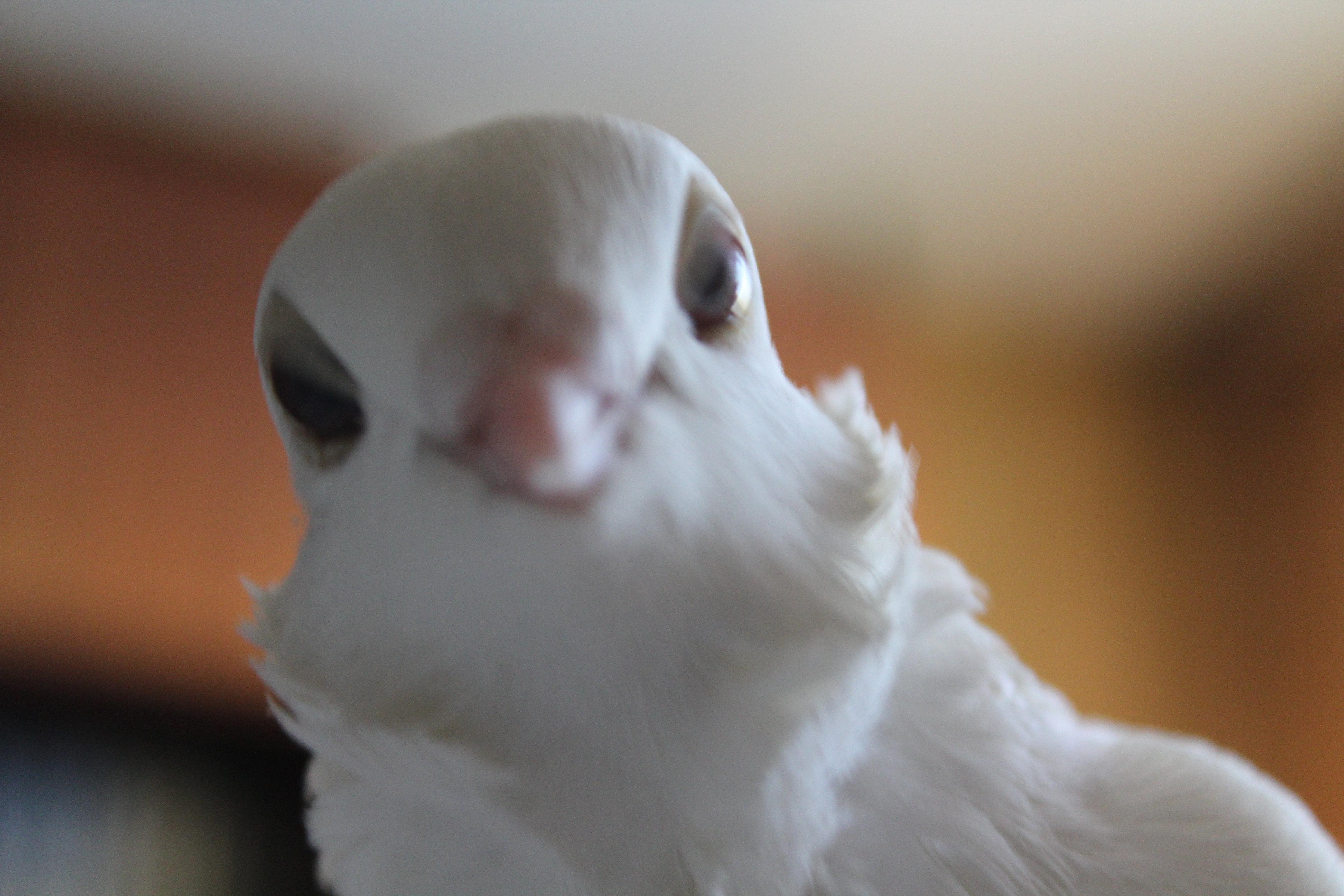"""Голубка породы чайка """"исполняет фаду""""..."""
