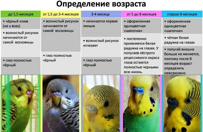 vozrast-volnistogo-popugaya-3.jpg
