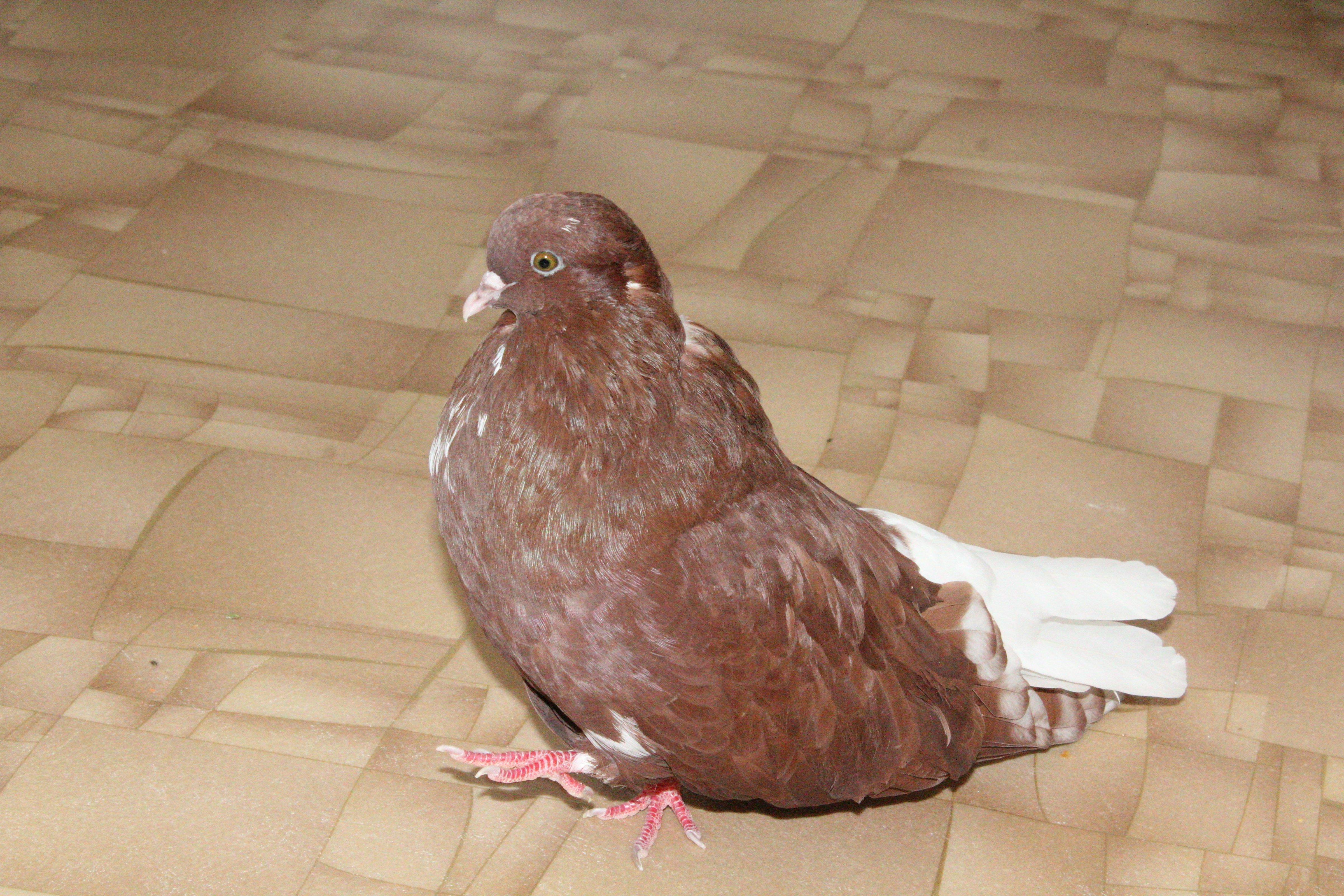 Маленький голубенок Мишка вырос красавцем!