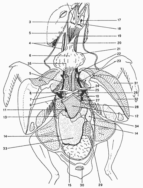 внутренние органы голубя.png