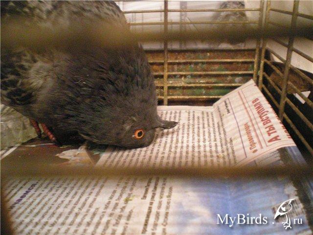 Попу голуби смотреть, толстогубая сосет онлайн