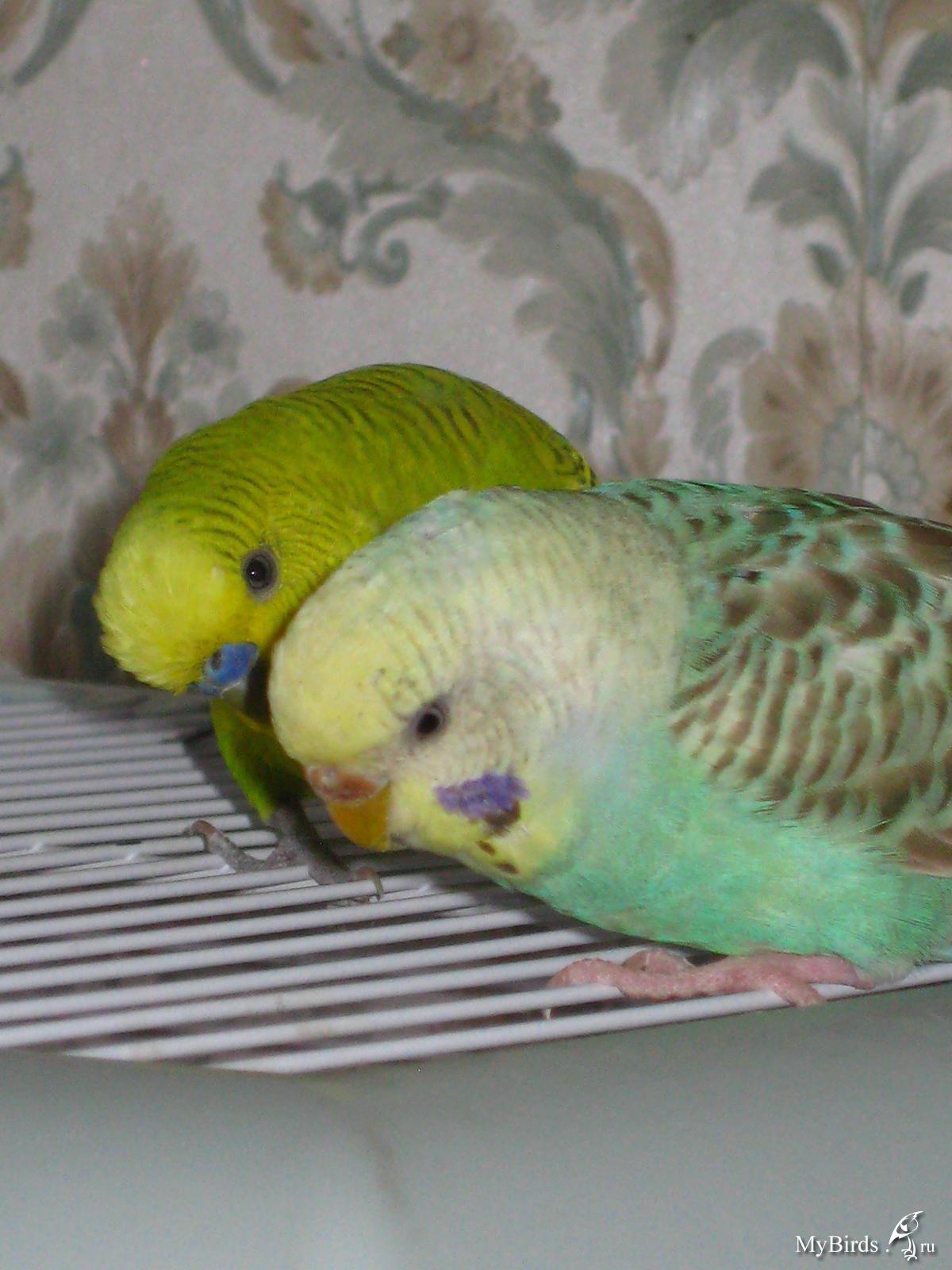 Окрасы волнистых попугаев - цвета, фото разных окрасов 27