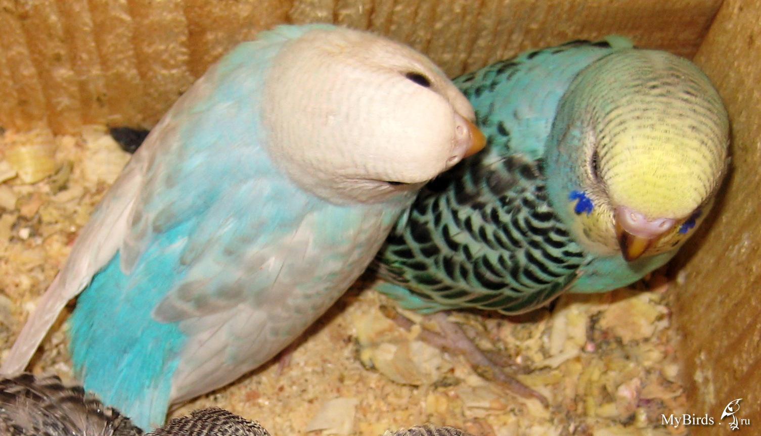 Волнистые попугаи размножение в домашних условиях 82