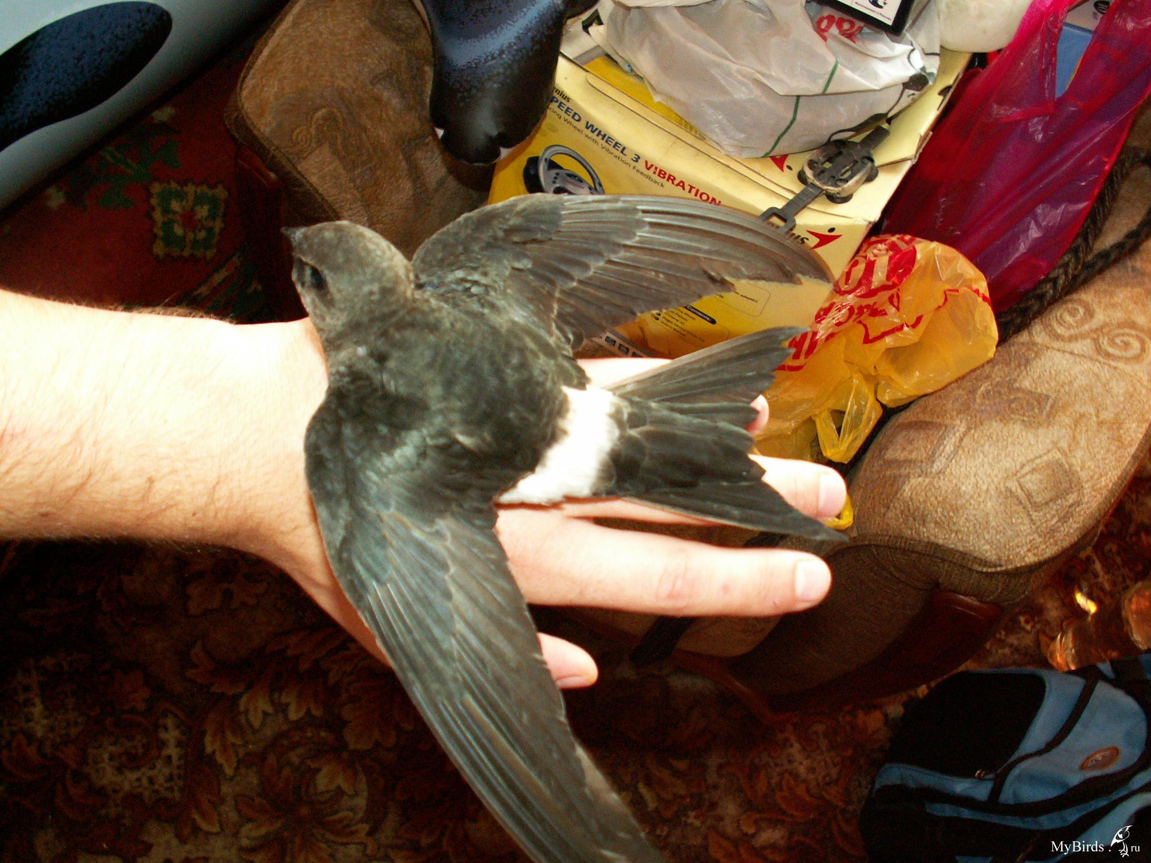 пожаловать фото чижа стрижа птица сбором употреблением тополевого