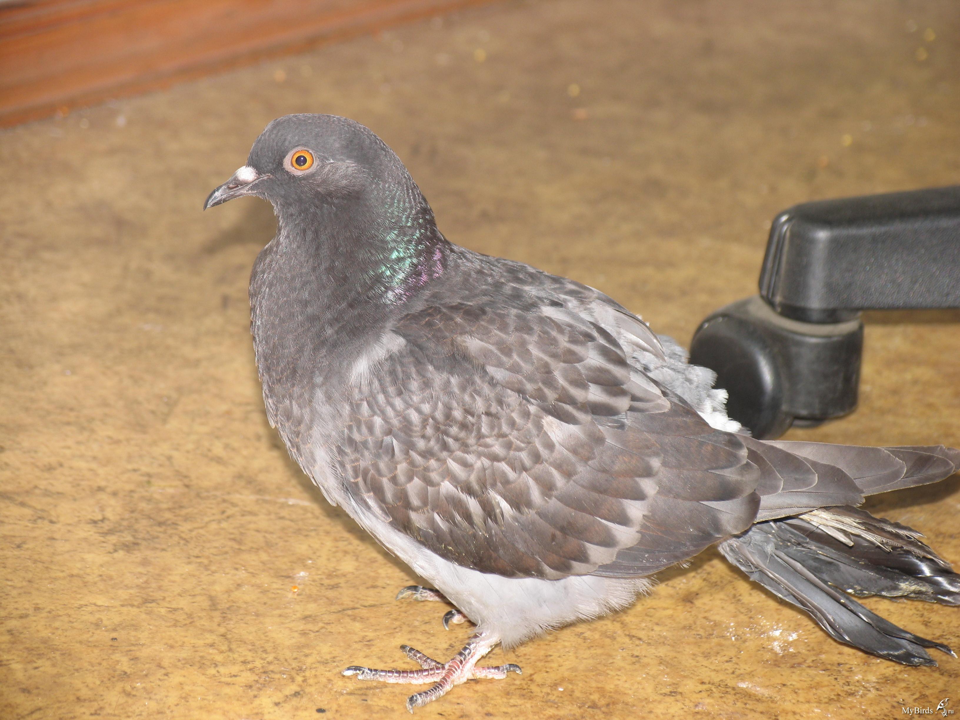 Сделать голубя в домашних условиях