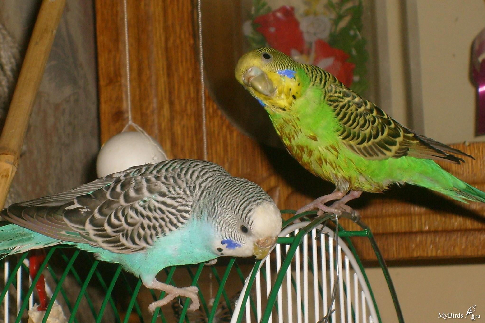 картинки попугаев волнистых самок наносится