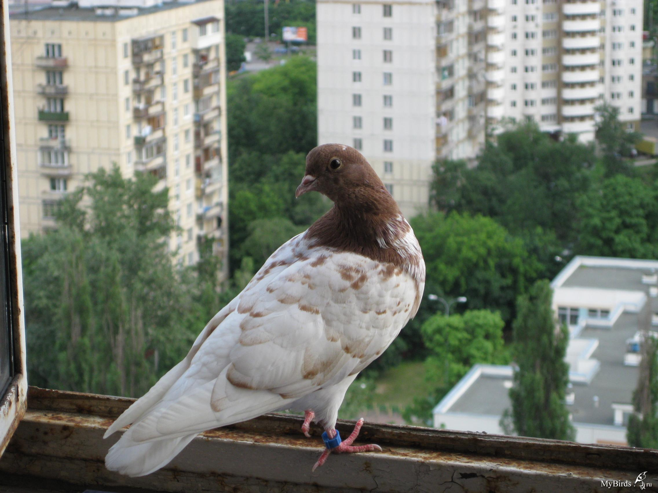 """Прибился голубь - архив """"отдам"""" - форумы mybirds.ru - все о ."""