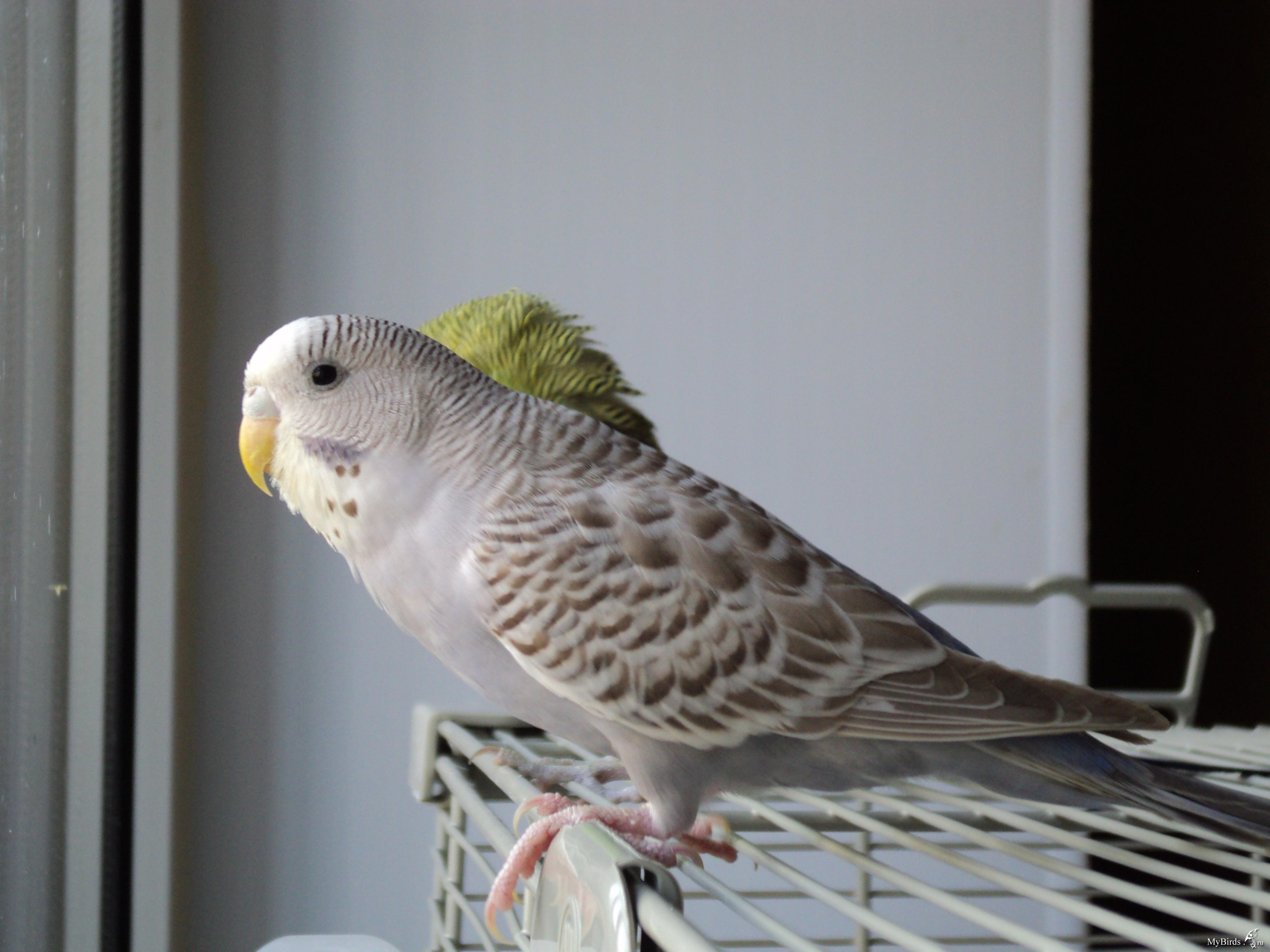Окрасы волнистого попугая фото