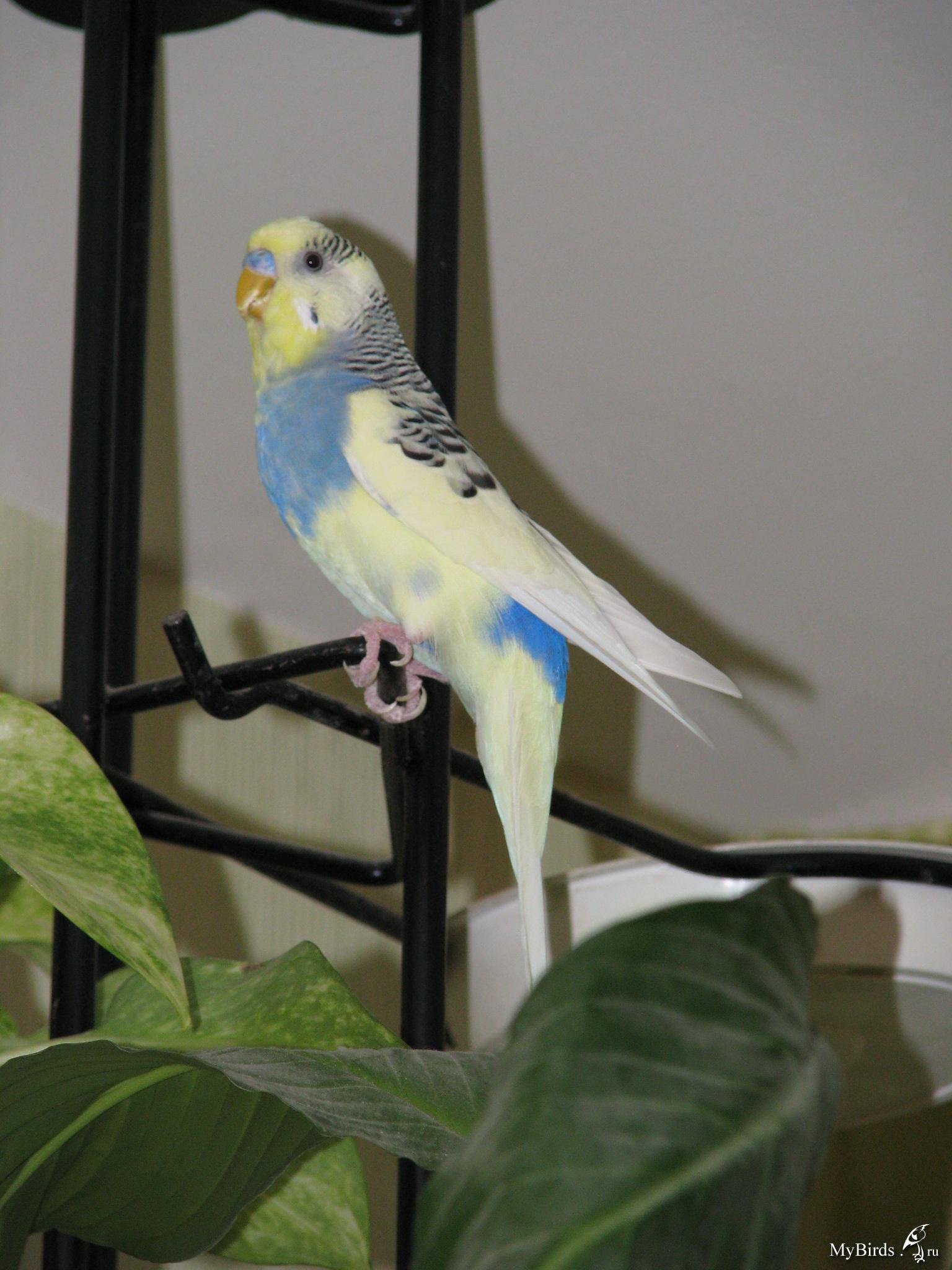 маникюр волнистые попугаи арлекины фото можно стелить