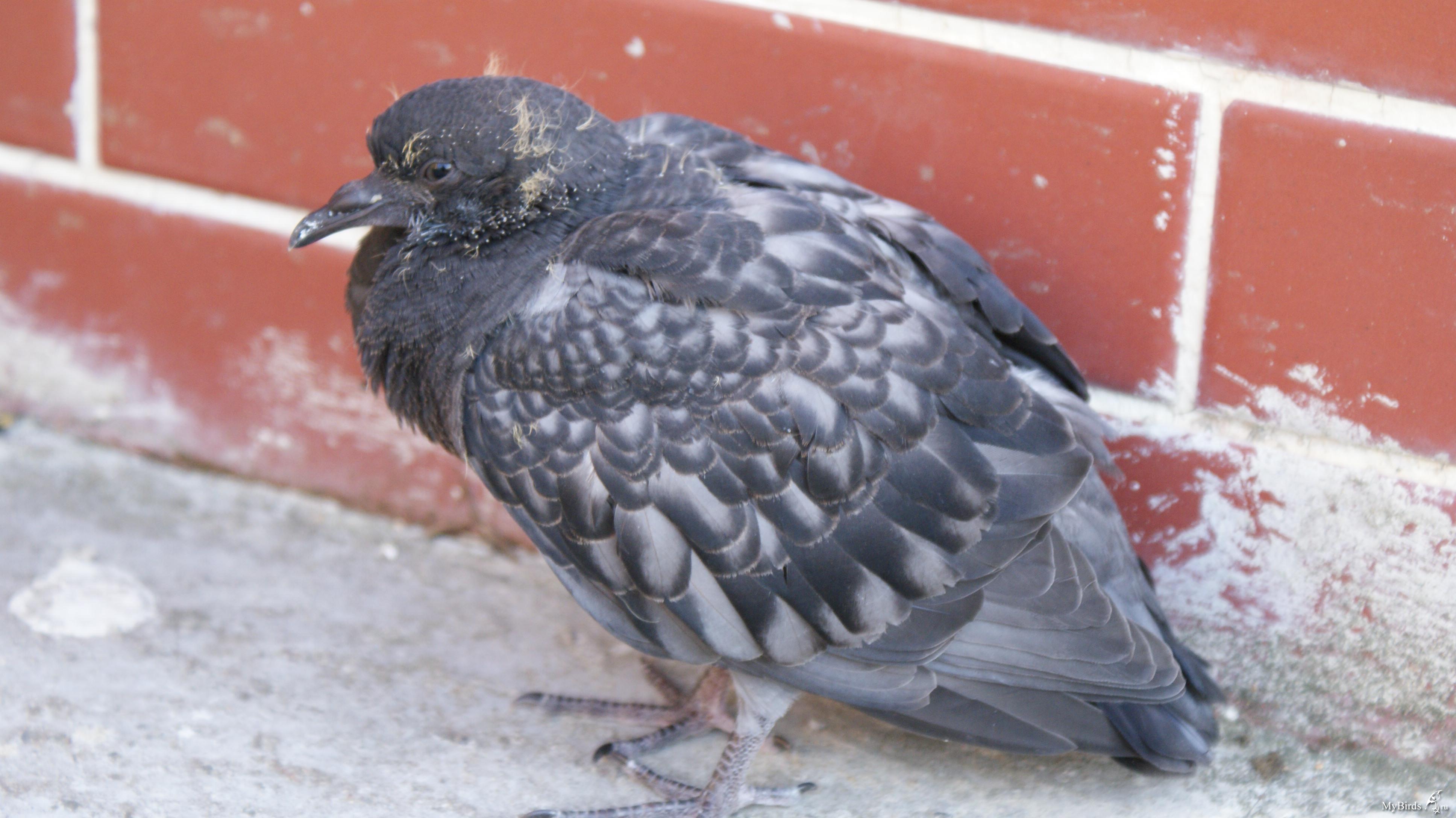 проявляется фото голубят по возрасту алфавит