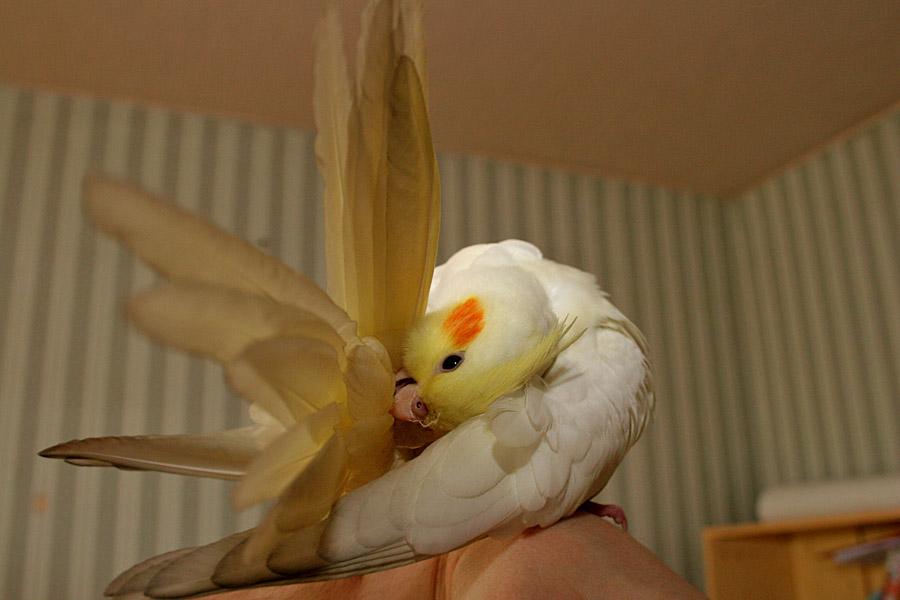 Почему попугай корелла чешется и выщипывает перья