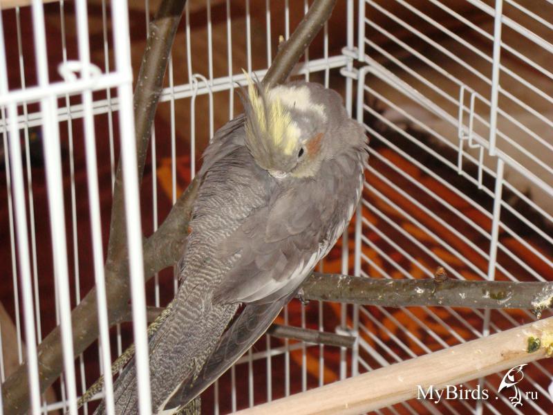 Попугай корелла трясется