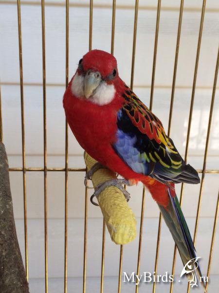 Пол попугаев розелла