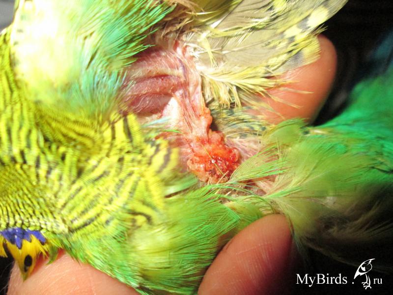 У попугая голая шея то
