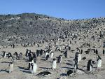 Colony_of_Adelie_Penguin_at_Cape_Royds.jpg