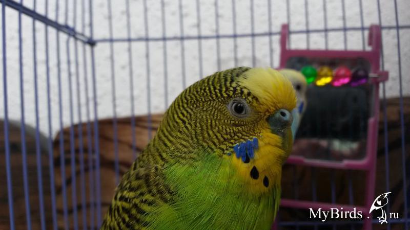 Клещ у волнистого попугая лечение