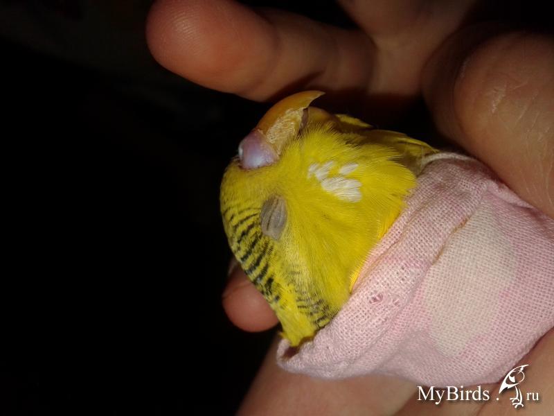 Болезни волнистых попугайчиков симптомы и лечение фото