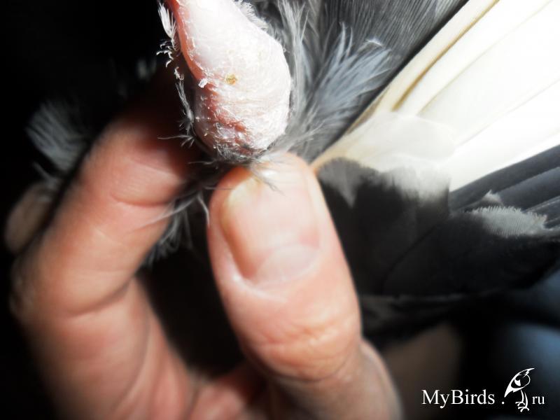 Шишка на суставах у голубей лечение что происходит с суставами после 50 лет