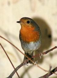 ...птицы средней полосы россии фото с названиями, рисунок птица и как...