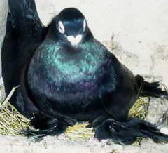 Армавирский короткоклювый космач (черный)