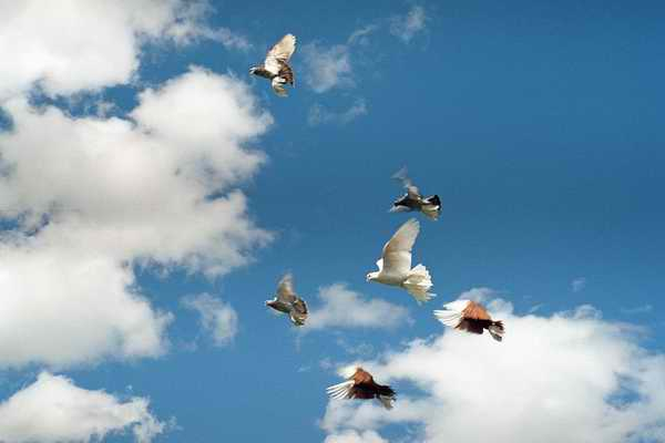 http://www.mybirds.ru/groups/pigeons/hifly/Vvedenie.jpg