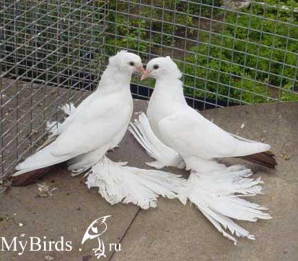бойные голуби кавказа