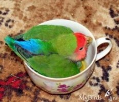 http://mybirds.ru/groups/popug/Loverbird_cup.jpg